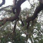 I love the live oaks