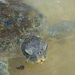 Feeding wild turtles on Hikkaduwa beach