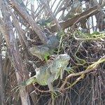 Iguanas at Ventanilla