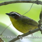 Rufus Capped Warbler