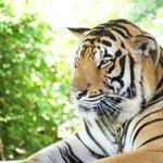 Tigre a Namuang
