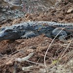 sun bathing croc