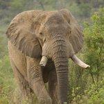 Pilanesberg bull ele