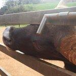 un gaur con mas hambra que mala leche