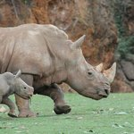 una cria rinoceronte con su madre, recien nacida es como un mini clon.