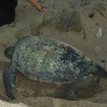 Green Turtle nesting at Playa Negra with Sea Turtles Forever
