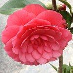 Camellia flower in the garden