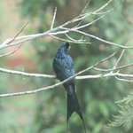 sighted Greater Racket-tailed Drongo at room balcony