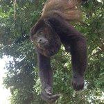 Les beaux singes gourmands