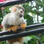 Squirrel monkey in Manuel Antonio