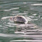 Seehund - im Hafen