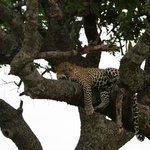 Elusive leopard, just before we left we came across him