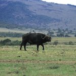 buffalo roaming the masai mara