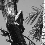 Las iguanas pueden observarse en todo lado