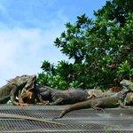 Visite d'une ferme d'iguanes