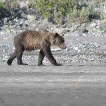 Bear wandering along the bank