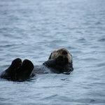 Sea Otter. Photo: BJ Robinson