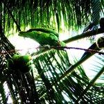 Annas parrots