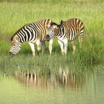 Zebra slaking their thirst in the stew pond