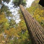 Old tree on path up Yamadera.