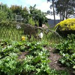 Rhubarb beds and fruit trees