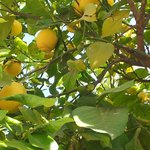 Quel bonheur de manger autour des citronniers pour les fêtes de fin d'année c'est paradisiaque
