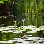 Lots of different coloured water lillies feature in the pond