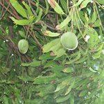 Mangoes found in our fruit garden