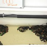Live Lobsters! Offer the free option of steaming them for you!!