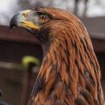 """""""Orla"""" the eagle."""