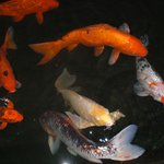 Koi pond with waterfall is gorgeous