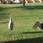 Sand Hill Cranes on the golf course