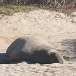 Elephant Seal on the Dunes