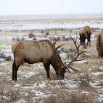 Majestic elk on the refuge
