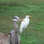 Heron's on the lawn.