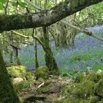 bluebells and more bluebells !
