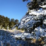 Frozen pines..........