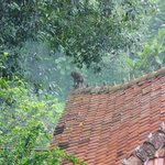 A wild monkey on the roof of one of the rooms at Ayung Resort