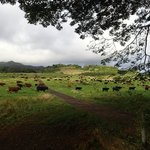The day the cows arrived