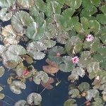 Лотосы в начале цветения