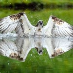 Fully guided Osprey Photography