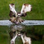 Early morning Osprey fishing