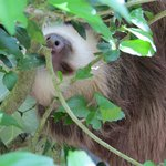 two -toed sloth