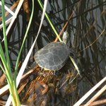 Turtle in wildlife lake