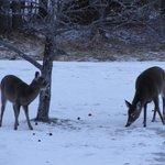 Deer feeing outside our room