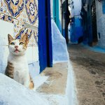 one of the many many cats of Chefchaouen