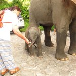 Feeding baby elephant at the resort