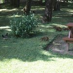 Agouti and birds in front of our cabin