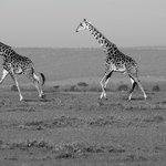 giraffe on the plains