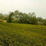 Temi Tea Estate